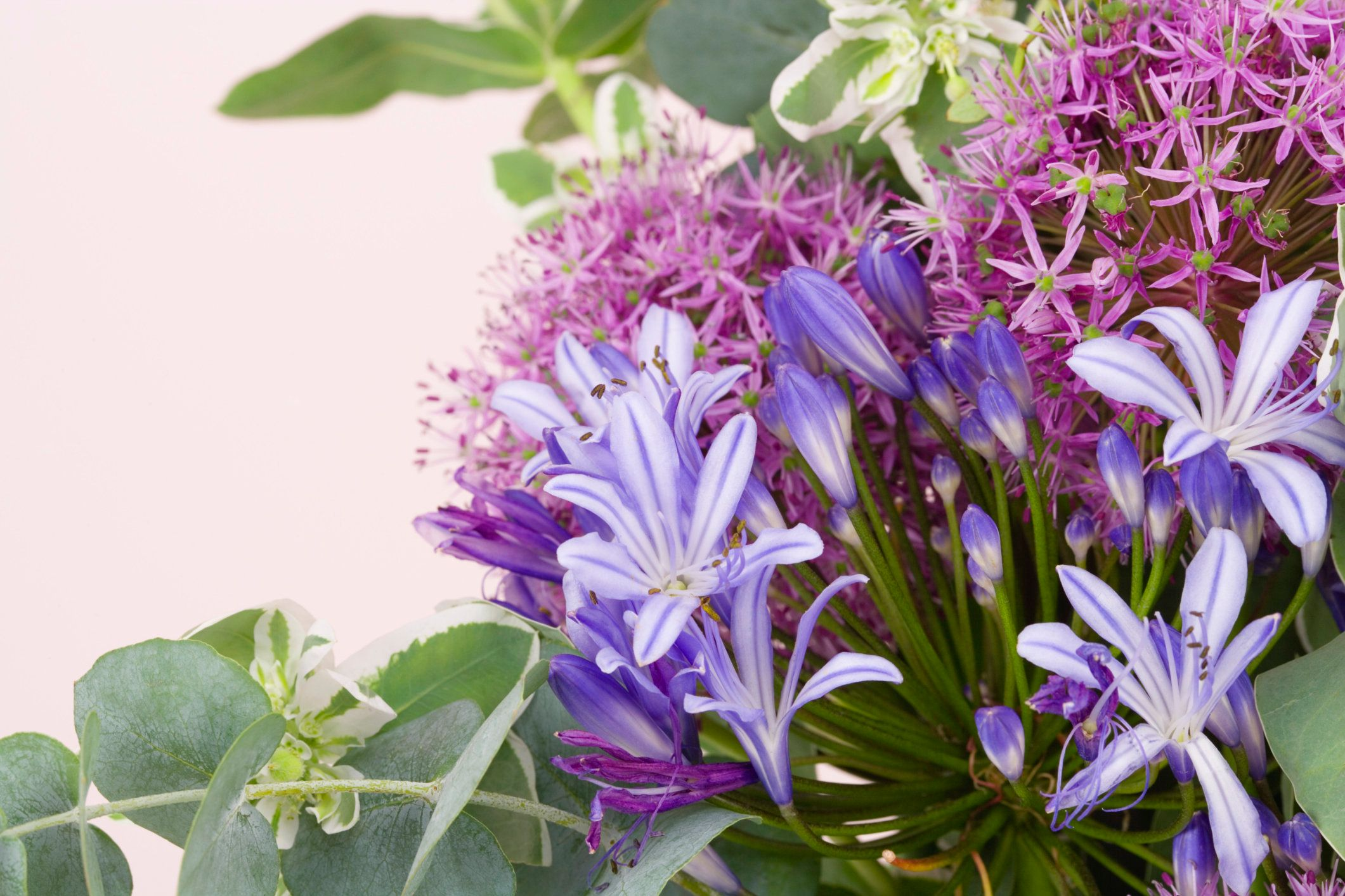 Alliums and agapanthus
