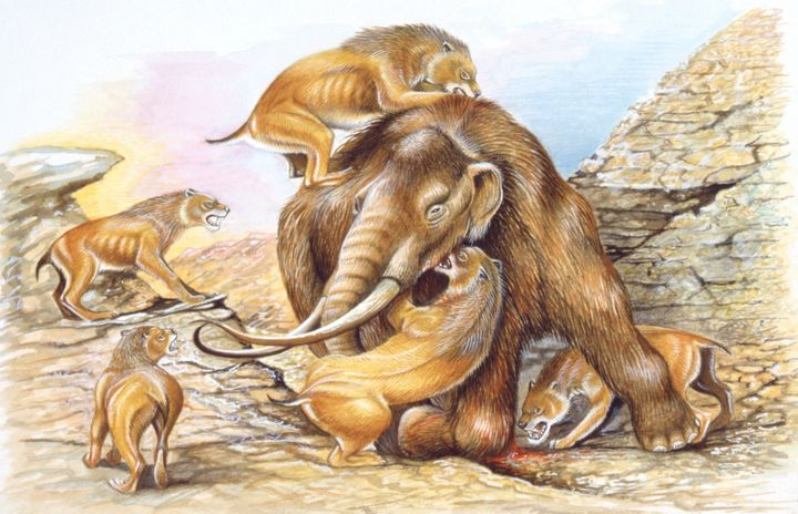 Illustration of herd of Homotherium attacking Mammoth.