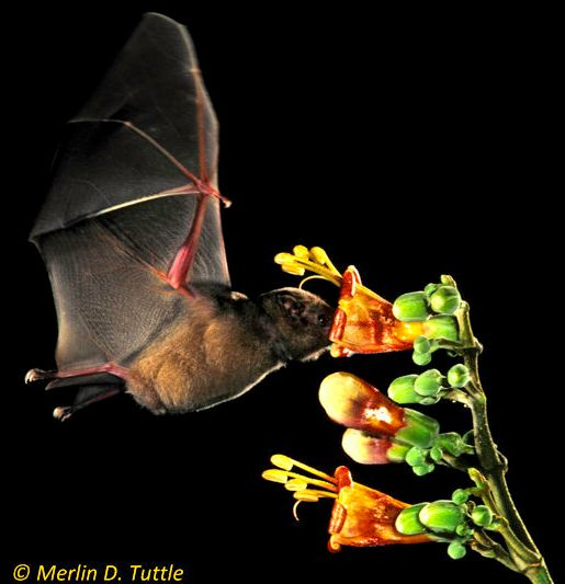 A brown long-tongued bat is pollinating a Tricanthera flower in Panama.