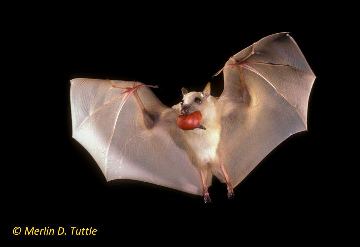 Ethiopian epauletted fruit bat carrying a fig in Kenya. Small fruit bats are the most efficient dispersers of wild figs world