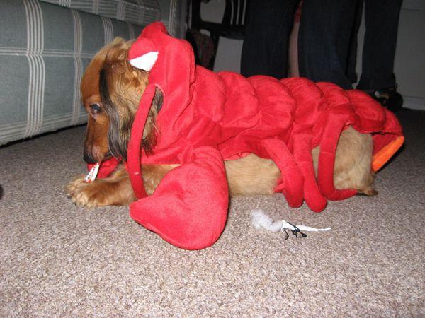 Is this a lobster dachshund or a miniature pincher?