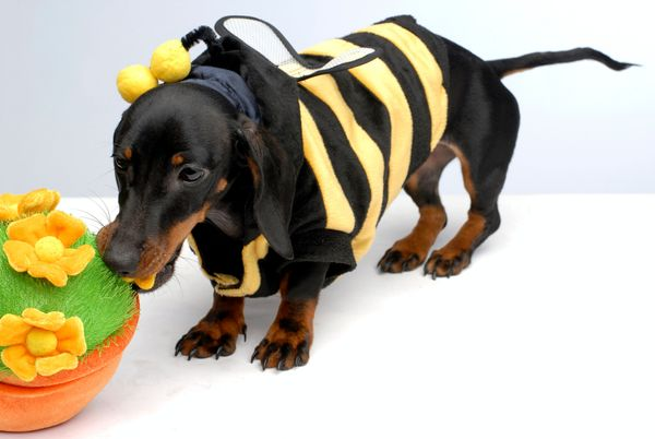This dog's bumblebee costume no doubt caused a lot of buzz.