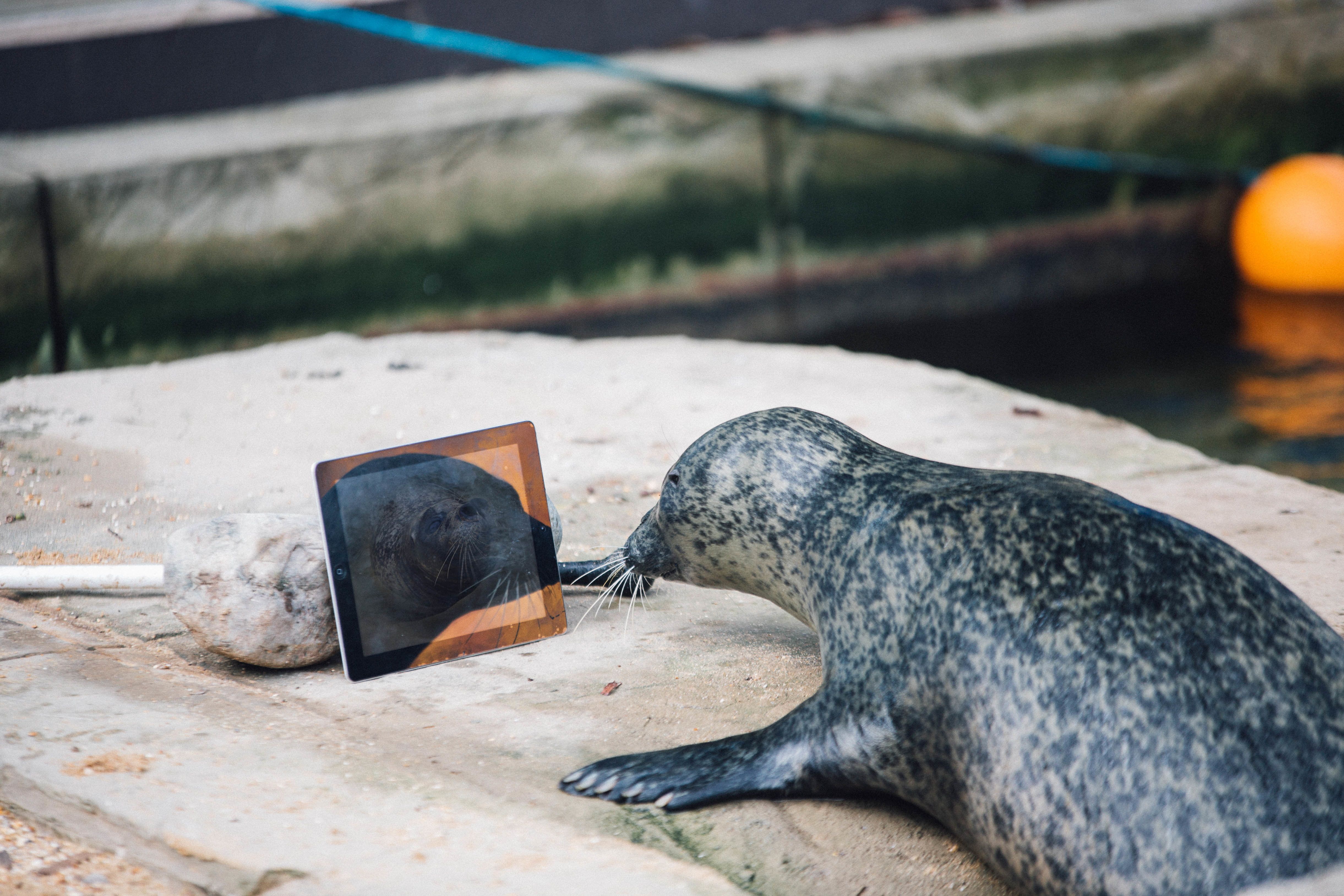 Sija using Facetime to look at Babyface and the male seals.