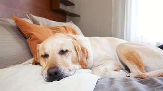 Young male Yellow Labrador Retriever sleeping on hotel room bed, Banff National Park, Alberta