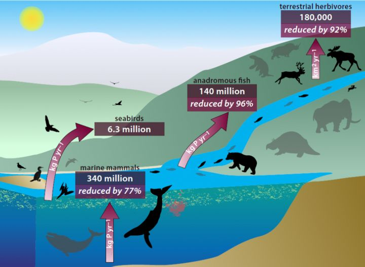 An interlinked system of animals carriesnutrients from ocean depths to deep inland -- through their poop, urine and, up