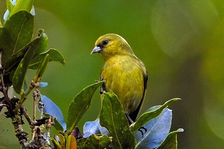 The 'Akeke'e, a greenish-yellow honeycreeper, is endemic to the Hawaiian island of Kauai.
