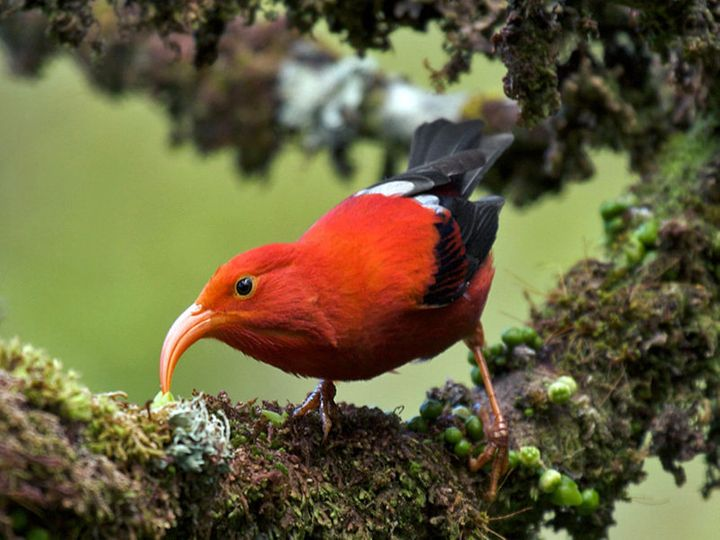 The 'I'iwi features a long, decurved pink bill, used to feed on nectar.