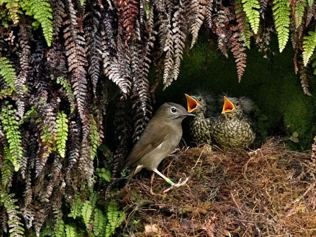 The secretive Puaiohi, also known as the Small Kauai Thrush, is highly endangered, with a population...
