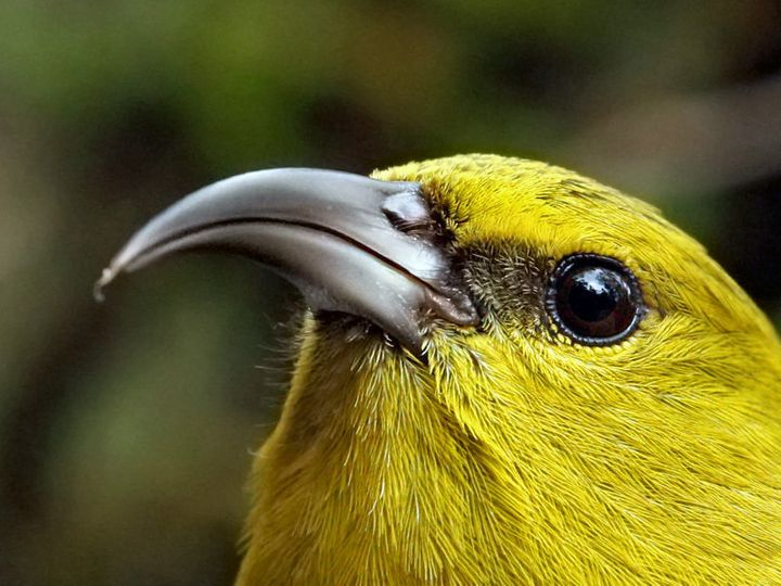 The Kauai 'Amakihi is a small, olive-green honeycreeper.