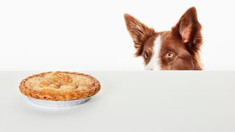 Dog peering at pie on kitchen counter