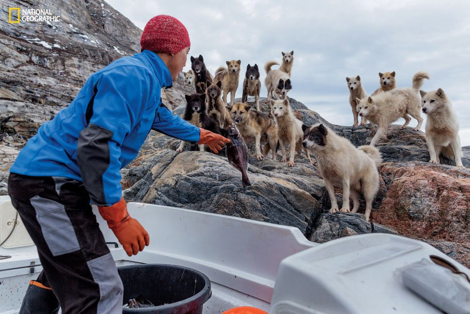 Many Greenlanders have had to kill their prized dogs because they cannot afford to maintain them throughout the year.
