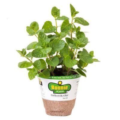 "<i><a href=""http://www.homedepot.com/p/Bonnie-Plants-4-in-Mint-Spearmint-157/205111040"" target=""_blank"">Bonnie Plants 4 in. Mint-Spearmint, $4.98</a></i>"