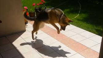 dogs engage in epic battle with their own shadown