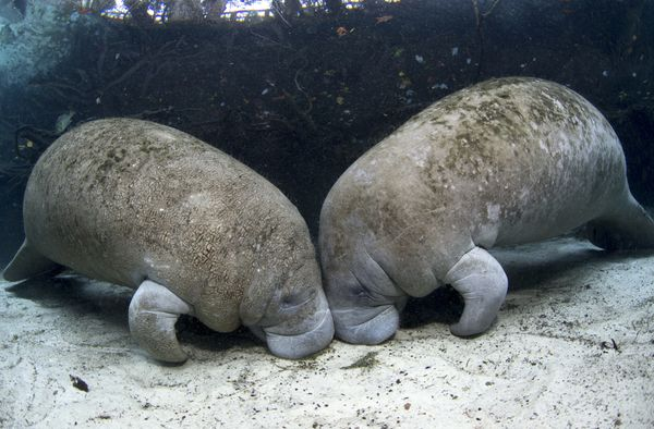 """You can evensymbolically <a href=""""http://www.savethemanatee.org/adoptpag.htm"""">adopt a manatee</a> (or two) through the"""