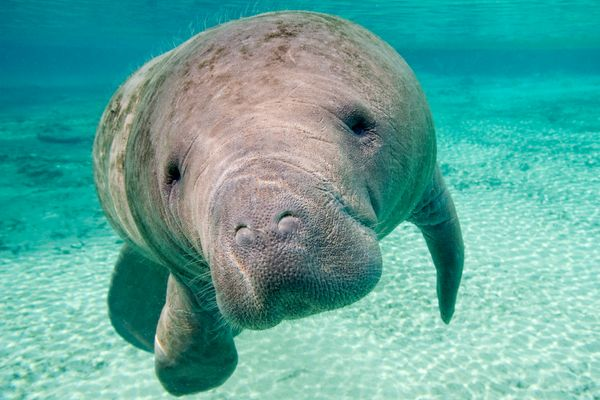"Even well-meaning humans can harm manatees when they feed, interact with, or even <a href=""https://www.huffpost.com/entry/ani"