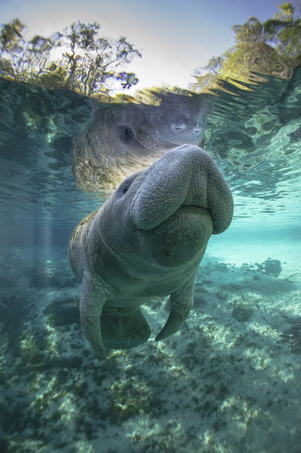 "Unfortunately, humans haven't quite gotten the memo. <a href=""http://www.defenders.org/florida-manatee/threats"">Florida manat"