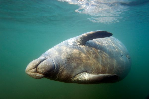 "So what's a manatee-lover to do? If you're a resident of Florida -- or just visiting -- follow <a href=""http://www.defenders."