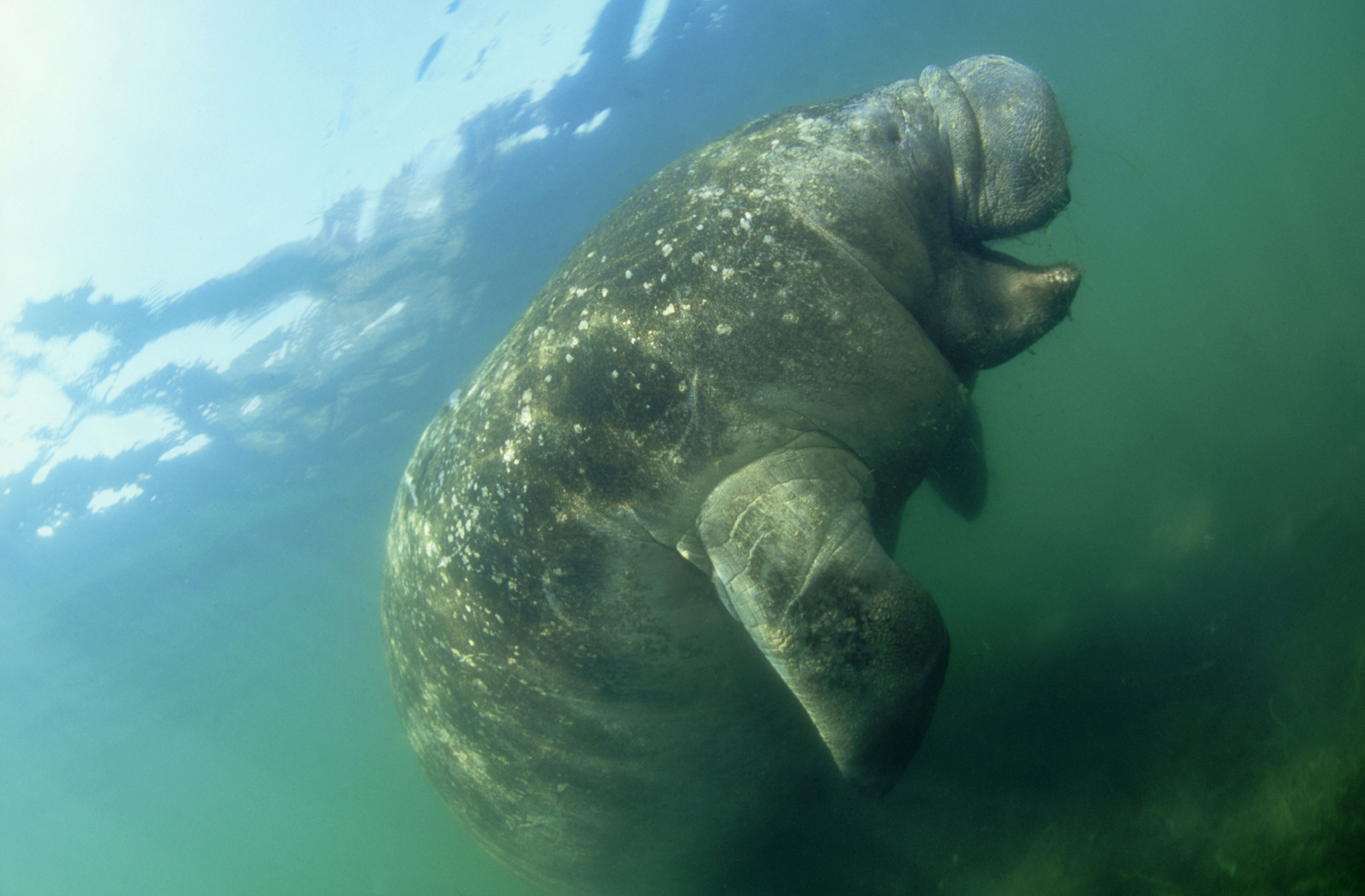 """But a real manatee would never do that! These <a href=""""http://www.savethemanatee.org/manfcts.htm"""">gentle giants</a> mostly ju"""
