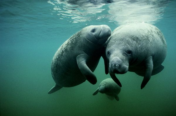 """Some will accuse these """"sea cows"""" of being <a href=""""http://www.huffingtonpost.com/2014/11/24/manatee-lettuce-head-photo_n_621"""