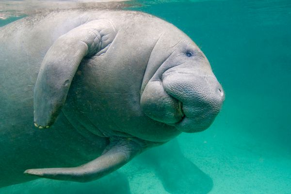 But it doesn't have to be this way. That's why we have Manatee Awareness Month.