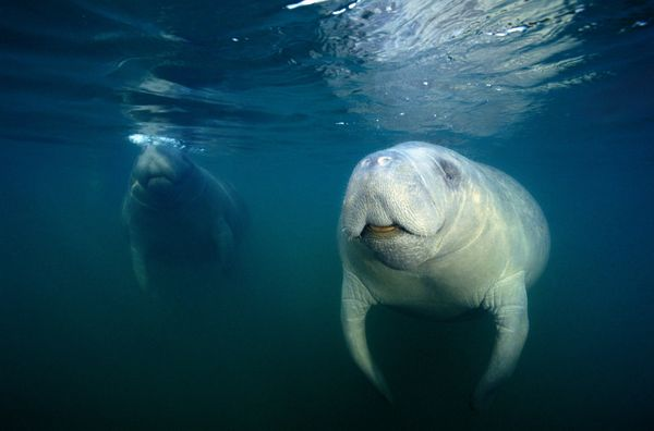 Don't listen to him, manatees.