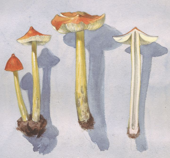 Witch's hat mushrooms painted by John Augustus Knapp.<i></i>