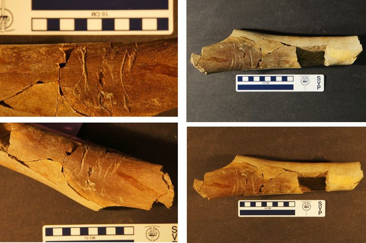 The tooth-traced Tyrannosaur long bone that was found in the Lance Formation of Wyoming.