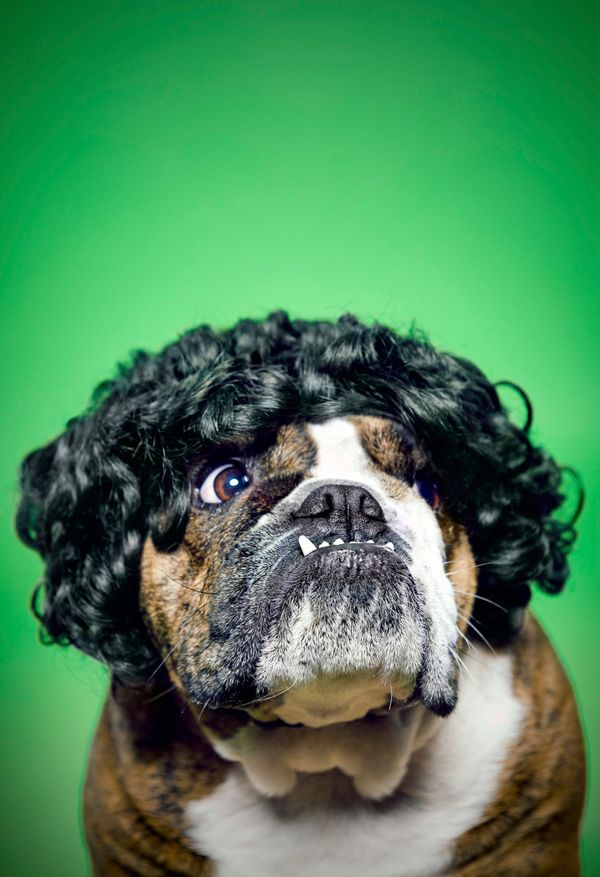 16 Animals Wearing Wigs And Looking Spectacular Huffpost