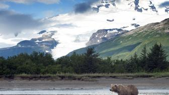 brown bear waiting patiently for the salmon to show up