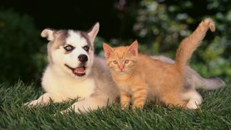Siberian Husky Puppy and Kitten  Title:  	 Siberian Husky Puppy and Kitten Creative image #: 	78739066 License type: 	Royalty-free Photographer: 	 Fuse Credit: 	Fuse Max file size/dimensions/dpi: 	50.9 MB - 5150 x 3457 px (17.17 x 11.52 in.) - 300 dpi - RGB  Release information: 	This image has a signed property release. This image is available for commercial use. Keywords: 	Friendship, Outdoors, Animal, Mammal, Dog, Domestic Cat, Sled Dog, Canine, Siberian Husky, No People, Young Animal, Puppy, Photography, Kitten, Kitty. Find similar images Availability: 	Availability for this image cannot be guaranteed until time of purchase.