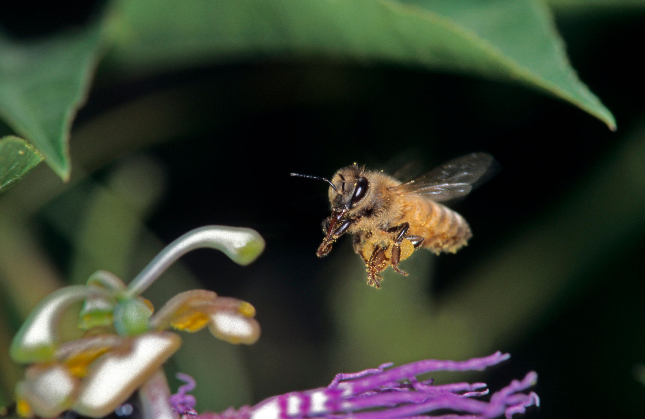 Honey Bee-Apis mellifera- in flight to flower.