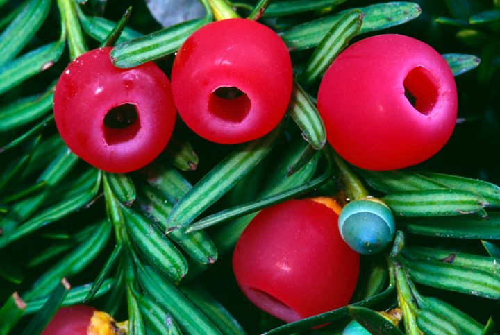 Yew berries, like these, were discovered by Dr. Max Coleman on the Fortingall tree.