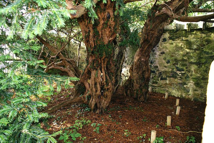 The Fortingall yew tree is believed to be one of the oldest trees in Europe.