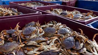 Crates of dungeness crabs, sea life