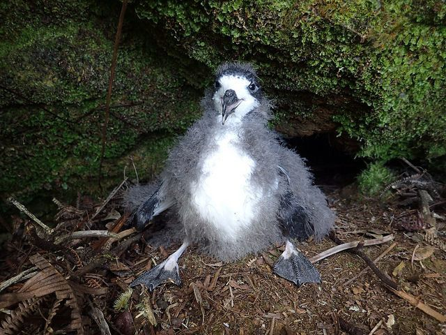 A downy, endangered Hawaiian petrel chick is pictured in its old burrow prior to translocation.