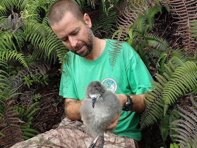 André Raine of the Kauai Endangered Seabird Recovery Project carefully removes a Hawaiian petrel chick from its b