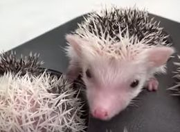 Watch These Baby Hedgehogs In Muffin Tins And Try Not To Lose It