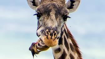 PIC FROM CATERS NEWS - (PICTURED: The bird stands and has his treatment from teh Oxpecker)  - This giraffe knew the drill as it impatiently waits for a careful bird acting as its dentist and picking food from its teeth. The hilarious pictures show the grumpy giraffe waiting in the Ngorongoro Conservation Area, Tanzania, for a red-billed oxpecker to finish working as its dentist. The amazing images were taken by Yulia Sundukova, a 36-year-old photographer from Moscow, Russia, in October 2015.  SEE CATERS COPY.