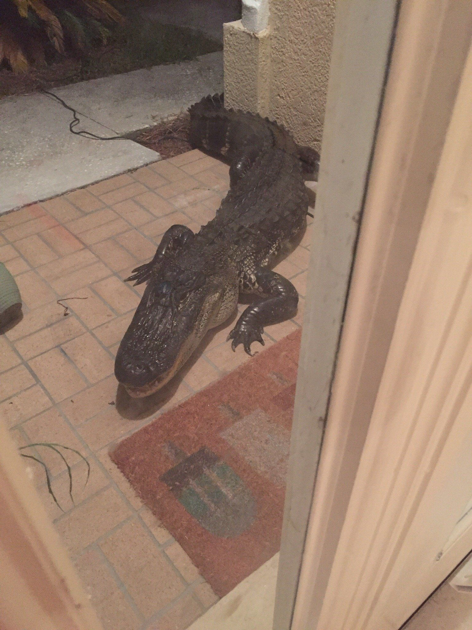 An alligator outside of the front door of Metts Bahadir's home in Lutz, Florida.