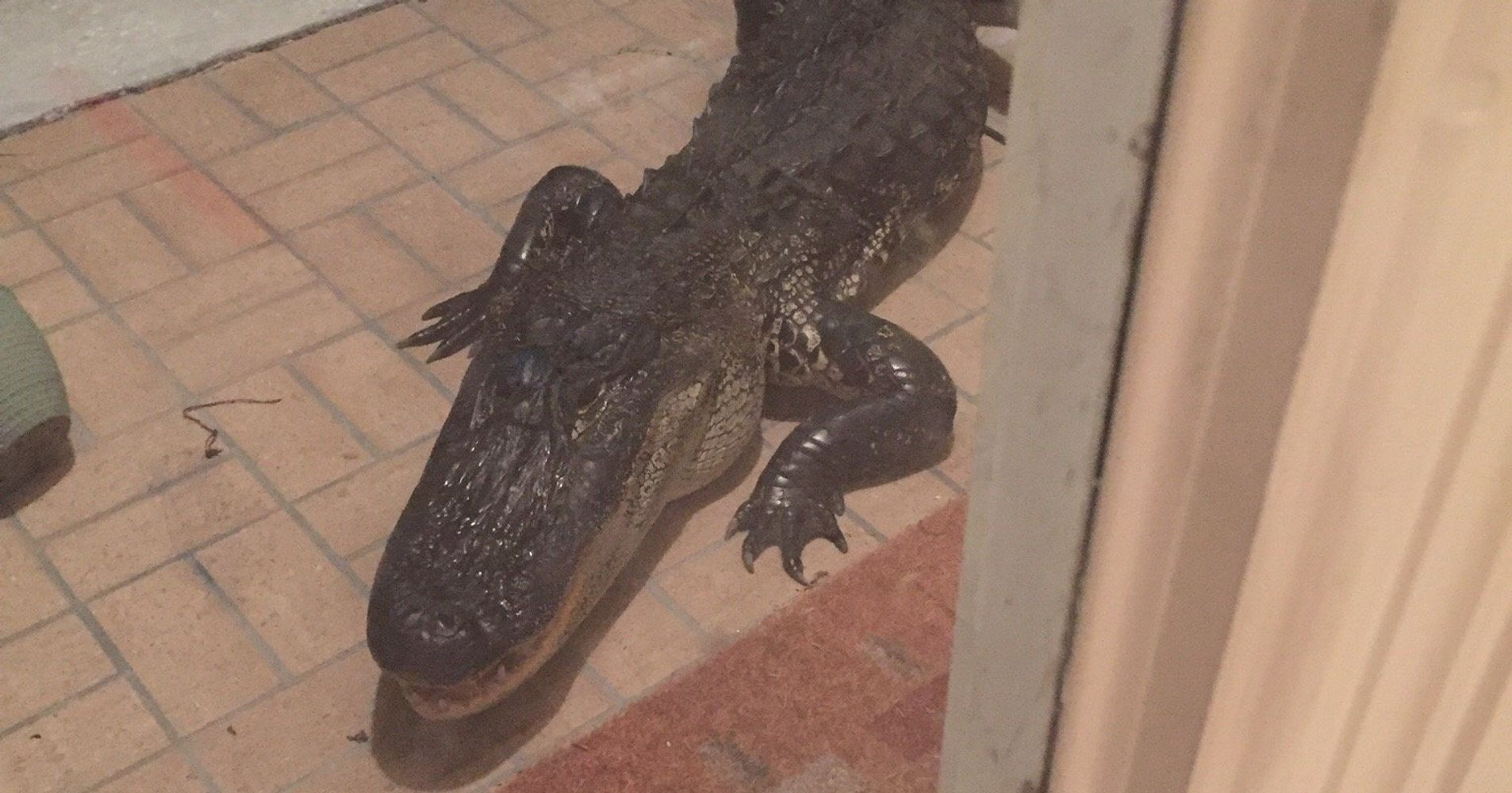 Massive 10 Foot Alligator Greets Florida Man On Doorstep Huffpost
