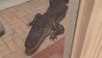 An alligator outside of the front door of Metts Bahadir's home in Lutz, Florida.