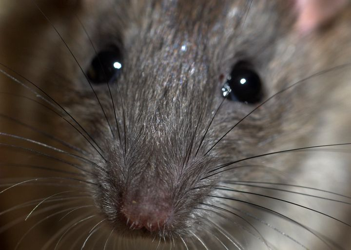 Come on... rats are pretty cute.