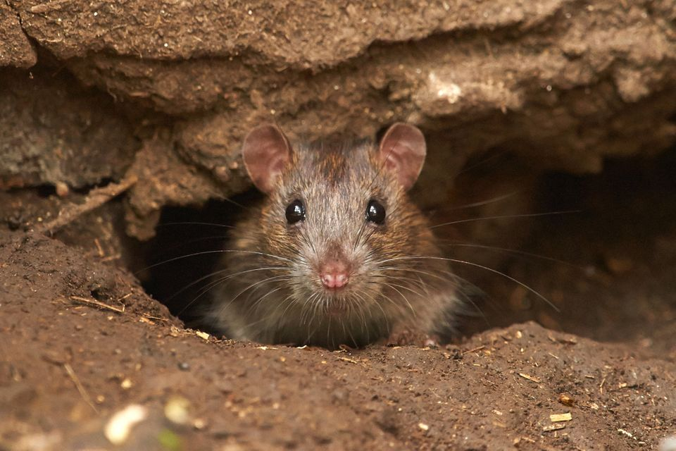 A wild Brown Rat (Rattus norvegicus)