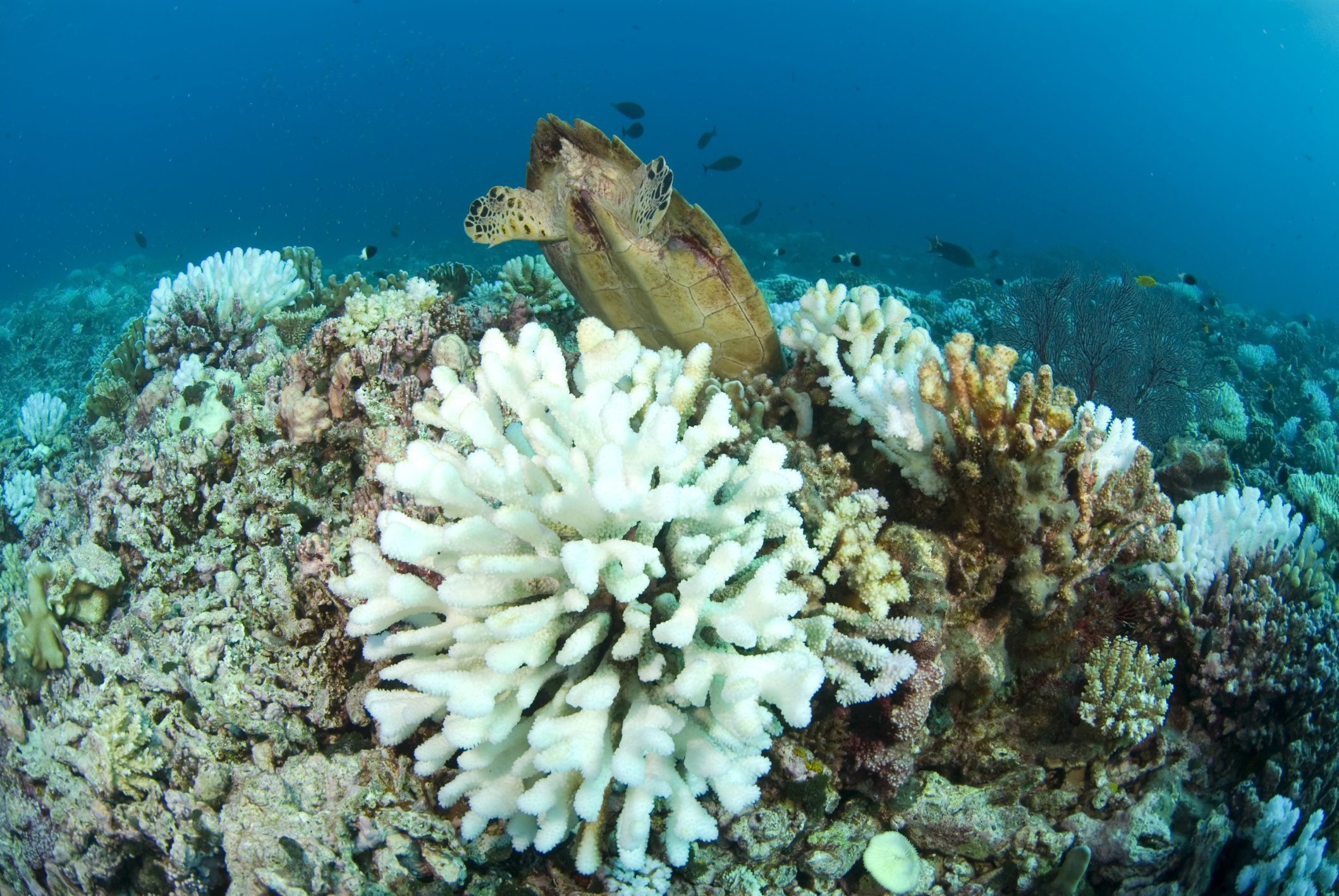 sea turtle feeds behind bleached wart coral