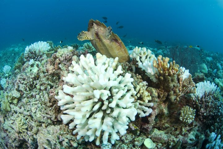 A sea turtle feeds behind bleached coral.