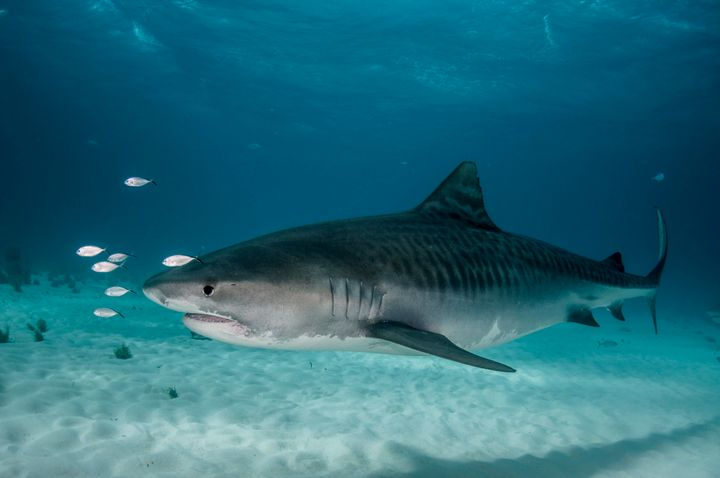 A large tiger shark.