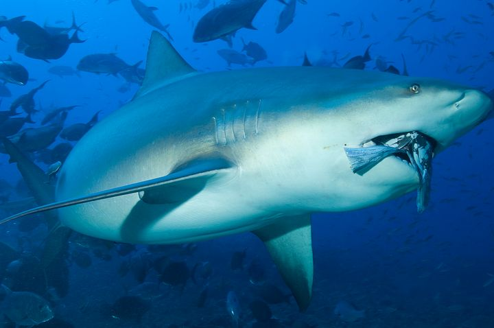 A bull shark in Shark Reef off the Fijian island of Beqa.