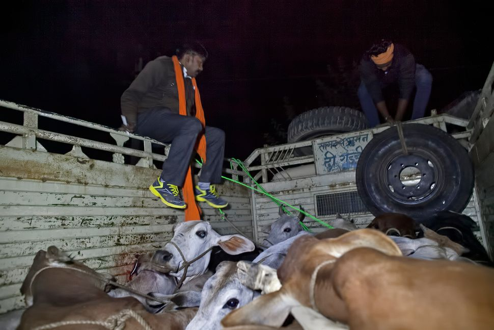 Group members try to free the cows from the back of a truck.