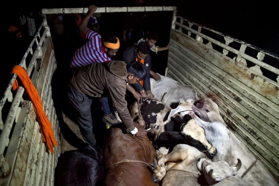 Group members unload the smuggled cows to take to a rescue shelter.
