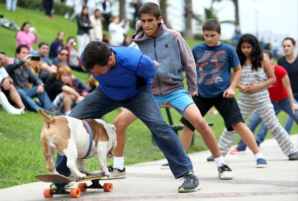 Otto the Skateboarding Bulldog set a world record for the longest human tunnel travelled through by a dog skateboarder by rol